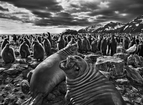 c2a9-sebastic3a3o-salgado-amazonas-images-cuccioli-di-elefanti-marini-novembre-dicembre-2009-baia-di-sain-andrews-georgia-del-sud